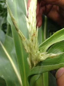 Corn Borer 2